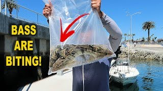 Fishing For LEGAL SAND BASS In San Diego [ TOURNAMENT ]