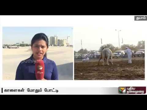 Bull-Fight-in-Dubai--Special-report