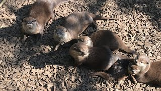 VIRTUAL ZOO DAY 4 LIVE: Asian short clawed OTTERS have breakfast! 😍