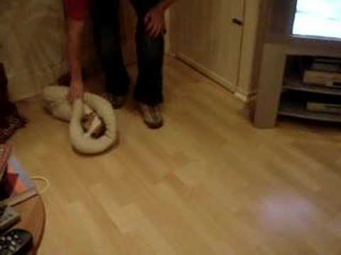 Dog Curling