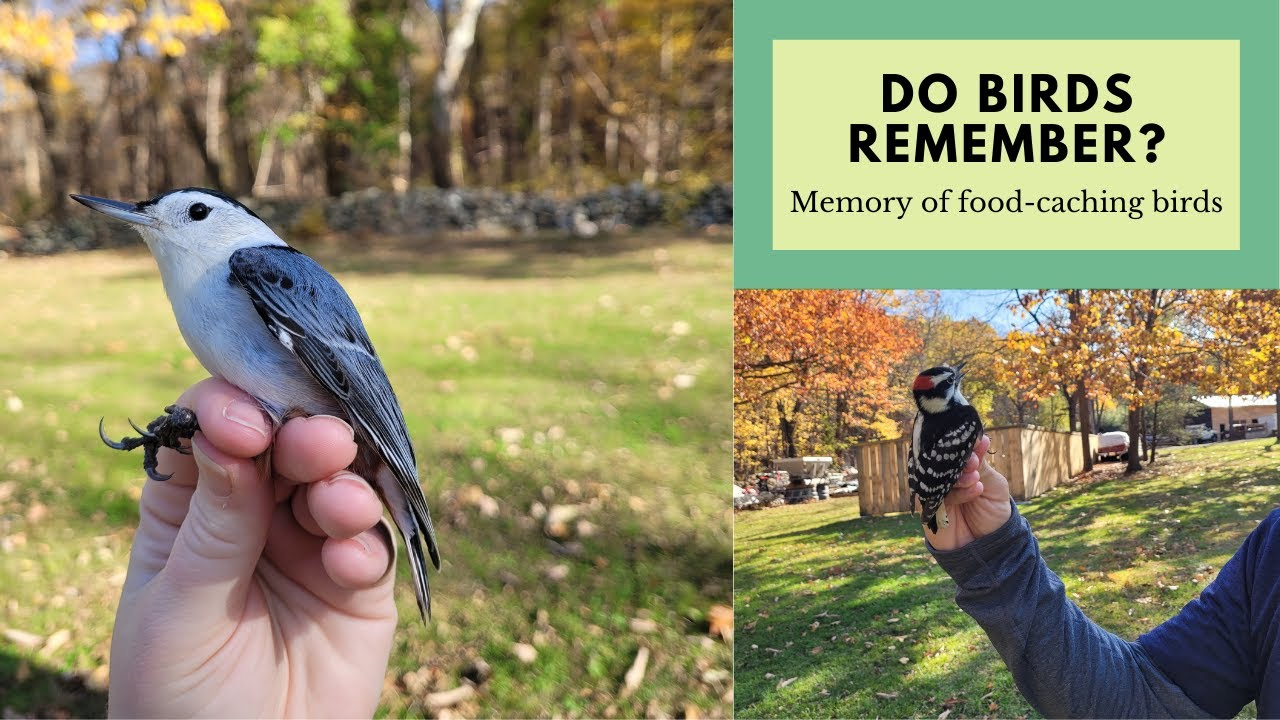 Do Birds Remember? The Memory of Food-caching Birds