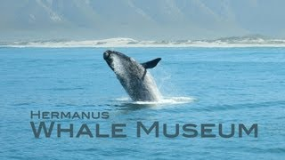 preview picture of video 'A visit to the Whale museum in Hermanus, with a full whale skeleton'
