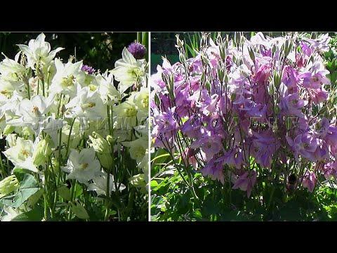 Аквилегия   и другие цветы Как сеять в открытый грунт  чтобы семена гарантированно взошли