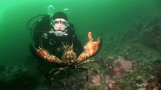 Northern Lobsters of Maine   JONATHAN BIRD'S BLUE WORLD