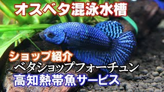 ベタ生後5か月  コバルトブルーシンフォニー  bettafish breeding 後半shop紹介【ベタ繁殖season3㉓】