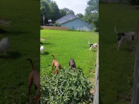 Buckshot, an adoptable Labrador Retriever Mix in Millington, TN