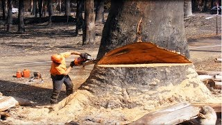 Amazing Fastest Skill Cutting Big Tree ChainSaw Machines, Heavy Biggest Felling Tree Machine working