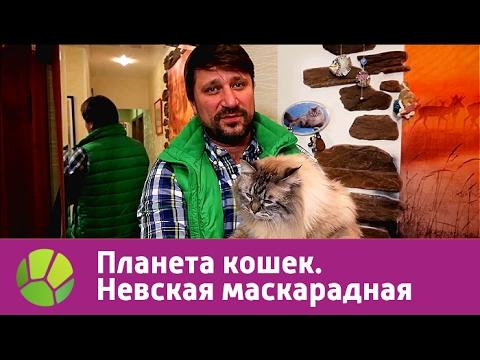 Невская маскарадная. Планета кошек   Живая Планета