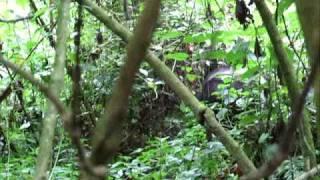 preview picture of video 'Silverback Gorilla - Bwindi Uganda Jun 2009'