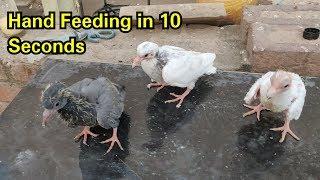 How to Hand Feed Baby Pigeons Chicks 100% Results    कबूतरओ के बच्चों को खुद कैसे पाले