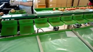 トマト選果機+ローラーコンベヤー
