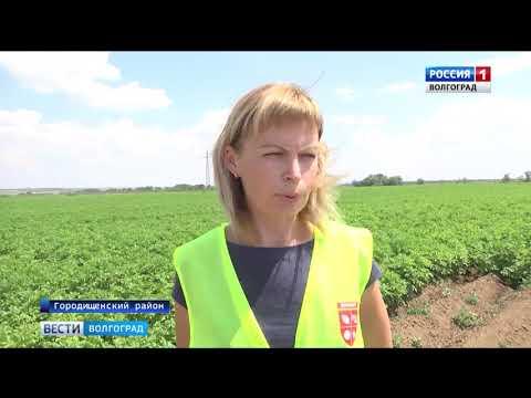 О мониторинге картофельных полей на наличие вредителей в Волгоградской области