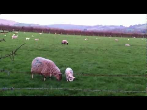 the sheep whisperer
