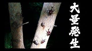 プロが教えるヒラタクワガタの捕獲方法!カブトムシやノコギリクワガタ大量発生