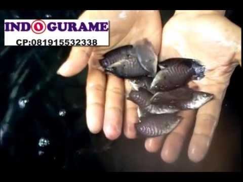 Video Budidaya Gurame Kolam Terpal-Jual Telur,Bibit,Nener,Larva,Benih Ikan Gurame/Gurami 081915532338
