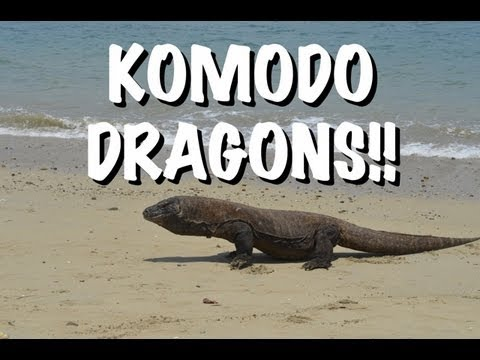 The Komodo Dragons Of Indonesia