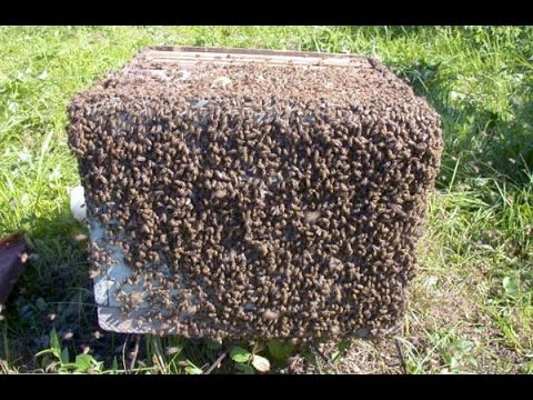 !!!!!КАК ВОРУЮТ ЧУЖИХ ПЧЁЛ!!!!! Все Секреты Пчеловодства!!!!