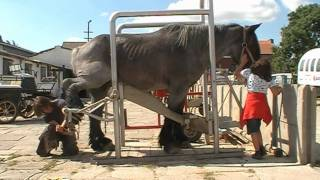 Belgian Draft With Very Bad Hooves Meets The Farrier