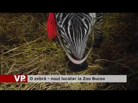 O zebră – noul locatar la Zoo Bucov