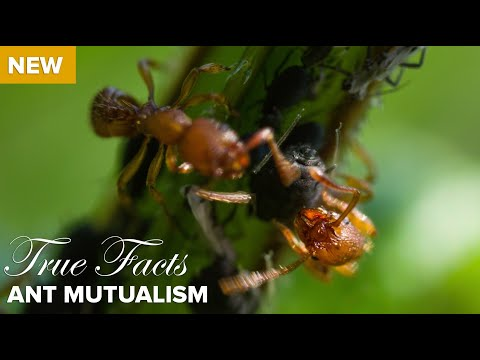 True Facts : Ant Mutualism