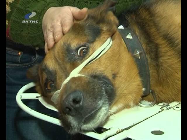 Раненую собаку бросили умирать