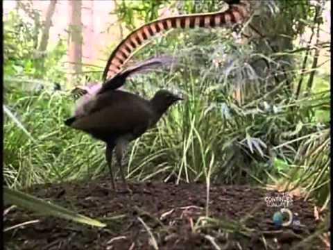 The Lyrebird (Uccello Lira - Menura) Perfetto imitatore!!!