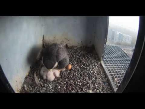 Nest 2: Still No Fourth Chick - 18.04.17