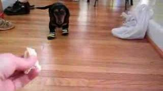 Hysterical Dachshund walking with booties