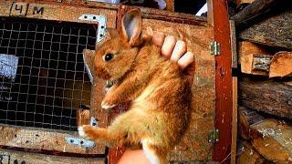 Три недели в бегах! Ловушка для кролика