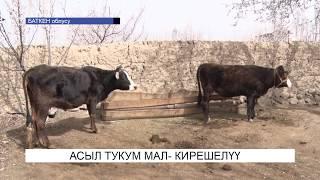Асыл тукум мал-кирешелүү бизнес\NewTV