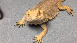 Three Time Beardie In For Fecal Recheck And Green Spermatozoa Plug