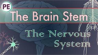The Nervous System: Brain Stem and Cerebellum