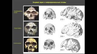 """Савельев - """"Отбор и эволюция мозга человека"""""""