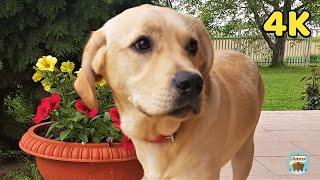 Labrador dog, one year old 4K
