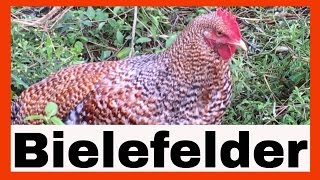 Rare Chicken Breeds? Bielefelder Chickens at AldermanFarms | 08-2016
