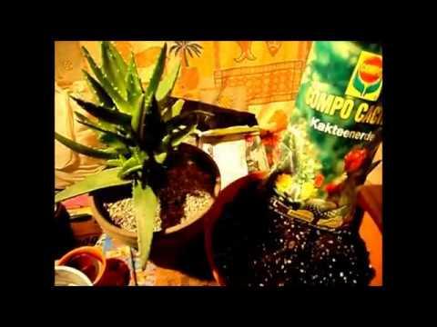 Video Memisahkan Aloe Vera  (Lidah Buaya)
