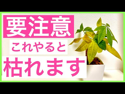 , title : '【観葉植物】要注意!これしたら葉っぱが黄色くなっちゃいます!【パキラ】