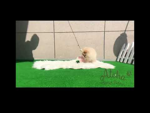Ella - Teacup Pomeranian