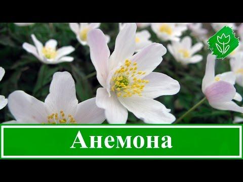 Анемоны – посадка и уход, выращивание в саду