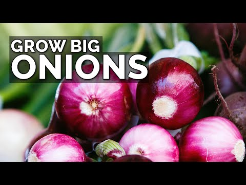 , title : '3 Onion Growing Mistakes to Avoid