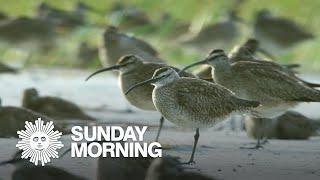 Tagging migrating whimbrel shorebirds