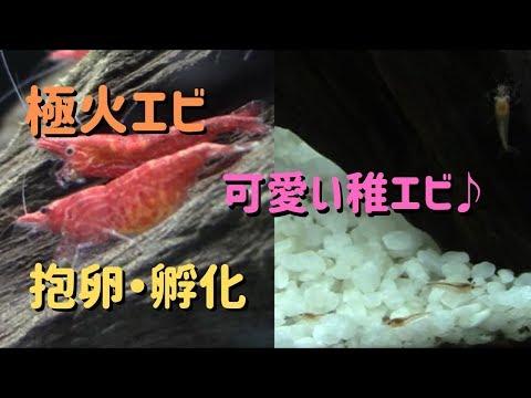 極火エビ(レッドファイヤーシュリンプ)~産卵・孵化・成長~