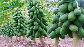 The Success Story of papaya Farming