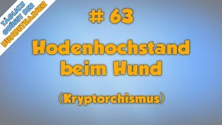 Kryptorchidismus Symptome bei Hunden