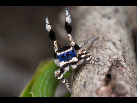Cute Jumping Spider Wallpaper Dashing New Australian Species Of Peacock Spider Just