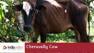 Cheruvally Cow