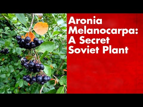Aronia Melanocarpa: A Secret Soviet Plant
