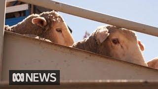 Live Sheep Exports Resume Under New Animal Welfare Standards | ABC News