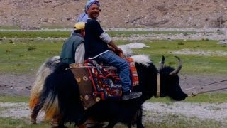 Yak ride at Pangong Tso Lake, Ladakh