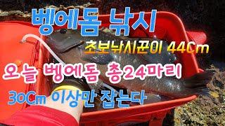 Opaleye rock fishing Store 82